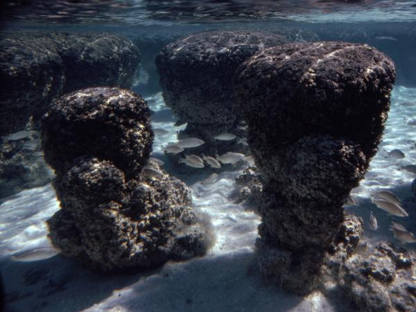 Stromatolites (deposits built by colonies of cyanobacteria), are seen underwater at high tide in Shark Bay, Western Australia.