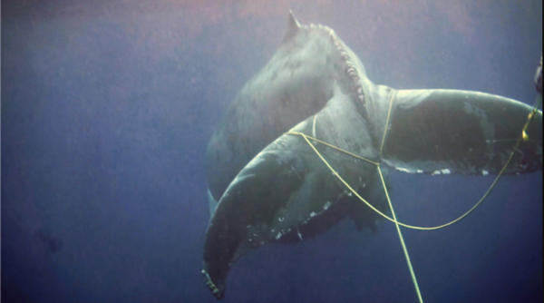Humpback whale entangled in commercial lobster gear, sighted off San Diego in 2015 (photographed under NOAA permit #: 18786)