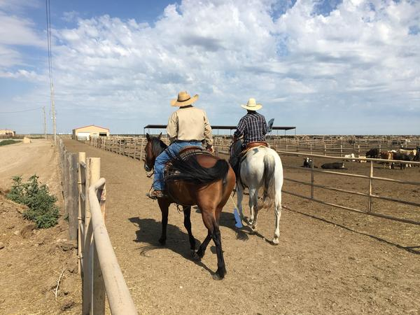 Two cowboys work the pens of cattle at a feedlot in southwest Kansas.