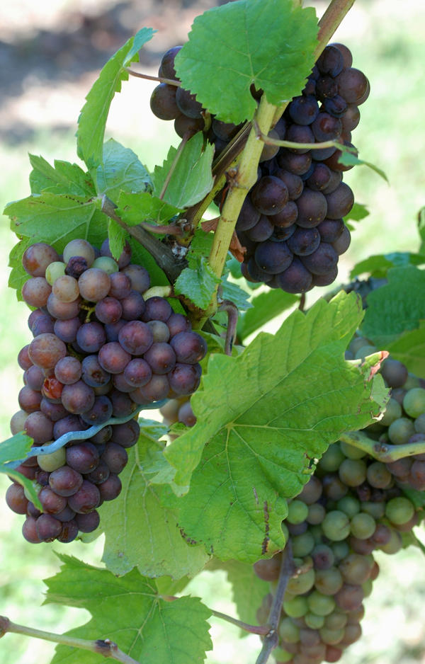 Grapes at 21 Brix Winery and farms in western New York
