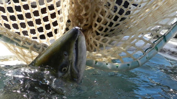 <p>A court Monday upheld the federal government's restriction on three pesticides to protect salmon like this Tule chinook.</p>
