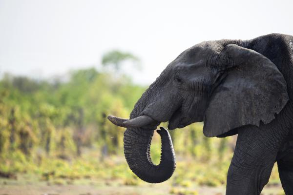 An African elephant is pictured on November 18, 2012 in Hwange National Park in Zimbabwe.