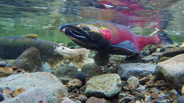 File photo. A new study suggests that the timing of fishing season can have a big impact on the diversity of salmon populations.