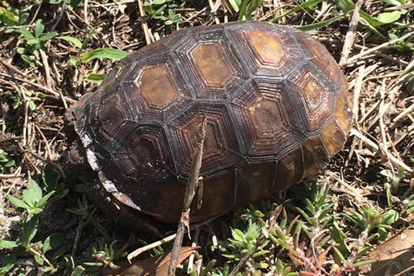 A young gopher tortoise is a little camera-shy on the USF Sarasota-Manatee campus.