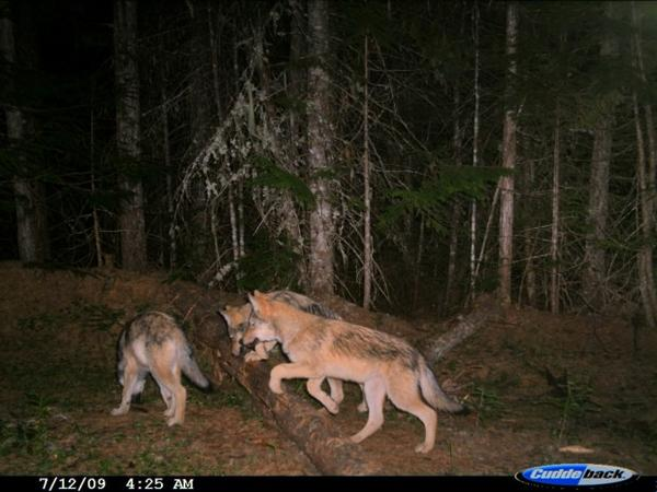 <p>Wolf cubs are caught on a trail camera in Washington state in 2009. Washington's wolf population has grown from around only a dozen wolves in 2009 to 115 by 2016. As the state's population grew, ranchers became more familiar with wolves attacking their cattle and sheep. </p>