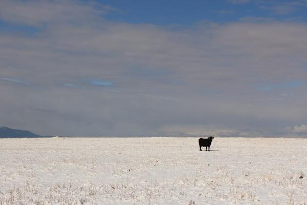 <p>A cow stands in a snowy pasture in Wallowa County, Oregon, the epicenter of the state's conflict over gray wolf recovery. Open range cattle die for many reasons, but wolves have added stress to ranchers' operations.</p>