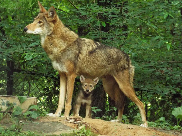 Thom Tillis is calling to end a protection program for red wolves in NC.