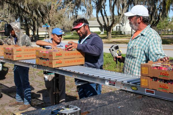 Carlos Torres (second from right), a crew leader with Foxy Farms, inspects freshly harvested strawberries.