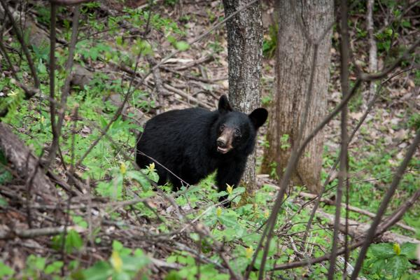 A black bear looks up at a line of picture-taking tourists near the popular Laurel Falls Trail in Great Smoky Mountains National Park, which is on the border of North Carolina and Tennessee.