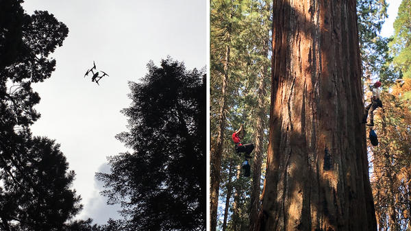<strong>Left:</strong> Dawson's team is experimenting with drones, which capture images of light reflected off the canopy. This light helps scientists get a sense of how stressed the tree is. <strong>Right:</strong> Rikke Naesborg (left) and Cameron Williams have spent hundred of hours in Odin's branches, taking measurements.