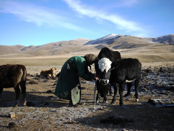 """Lkhagvajav Bish unties one of her cows. Bish's herd has dwindled since she began raising cashmere goats. She used to have 20 goats; now she has 150. """"They're just taking over,"""" she says."""