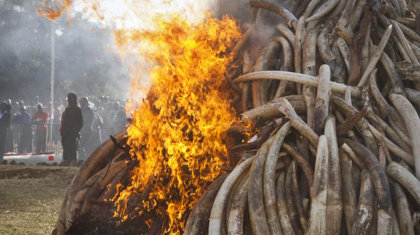 Elephant tusks totaling about 15 tons are set on fire during an anti-poaching ceremony at Nairobi National Park in Nairobi, Kenya, in March 2015. Conservationists say a pledge by China to stop the ivory trade is a possible game-changer in the struggle to curb the slaughter of elephants.