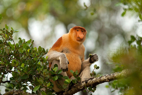 "Once called the ""Dutchmen"" because of their large noses and large bellies, proboscis monkeys live only in Borneo. Ecosystems that have a lot of diverse animals, like this monkey, also tend to have a lot of diverse viruses."