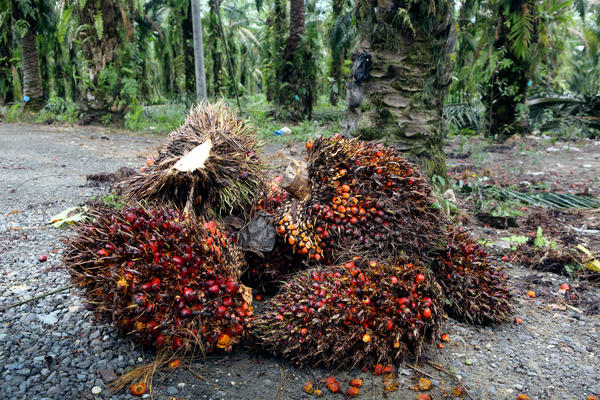 Have you eaten food made with this fruit today? Probably. Palm oil comes from these crimson kernels, which cluster together in big bundles. Nearly half of all products in supermarkets contain palm oil.