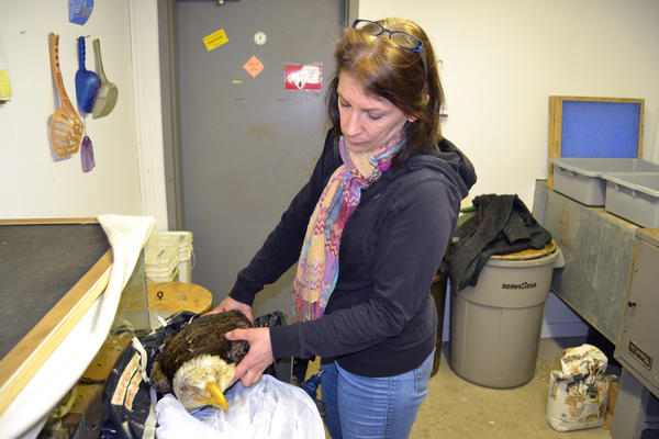 Susan Gallagher, chief naturalist at the Carbon County Environmental Education Center in Pennsylvania, examines the eagle that died from lead poisoning.