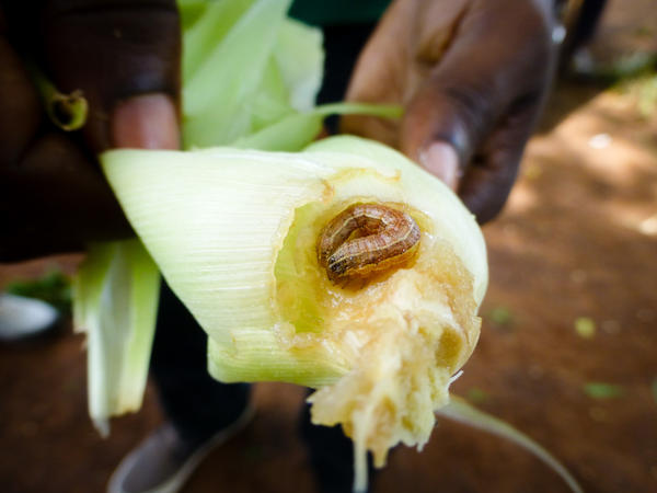 A fall armyworm — actually a caterpillar — takes a bite out of corn and other crops.