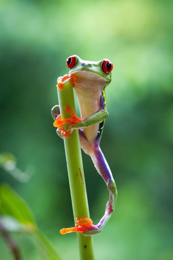 A red-eyed tree frog found in the jungle in Costa Rica.