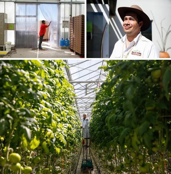 Top left: The entrance to the Wholesum Foods greenhouse in Mexico. Top right: Francisco Landell, the general manager of this Wholesum farm, has thought a lot about what it would mean if NAFTA were to disappear. Bottom: The greenhouse is a steamy, verdant tomato jungle, holding about two football fields' worth of tomato plants that shoot some 10 feet up into the air.