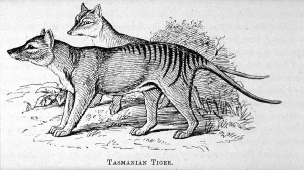 "The Thylacinus cynocephalus, a masupial known by many by the name ""Tasmanian tiger,"" has been merely the stuff of sketches for decades. Here is a print of the animals first published in Louisa Anne Meredith's 1880 <em>Tasmanian friends and foes: feathered, furred and finned</em>."