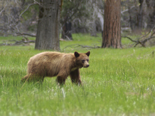 An American black bear (they are often brown) is seen in Yosemite National Park. Rangers hope tracking the bears' locations will help prevent the animals from being hit by cars.