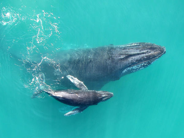A mother and calf humpback whale swim in the Exmouth Gulf in Western Australia.