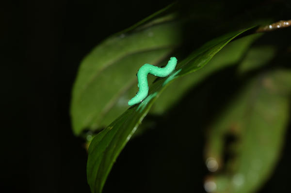 A plasticine caterpillar glistens with moisture while awaiting potential predator attacks in the forest of Tai Po Kau, Hong Kong.