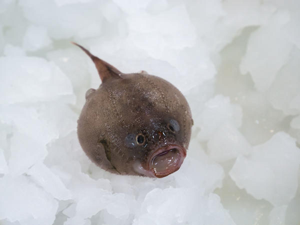 A coffin fish found at 1,000 meters below the ocean's surface.