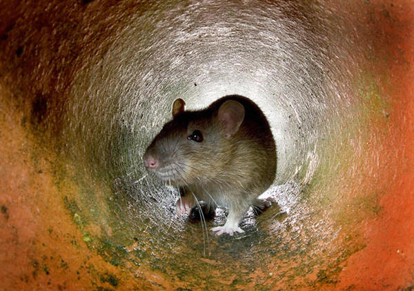Rats have been a persistent problem for cities around the world.