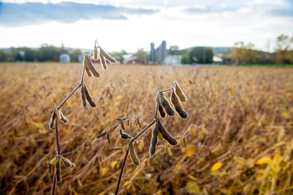 Soybean plants, with pods ready for harvest, in Boonsboro, Maryland.