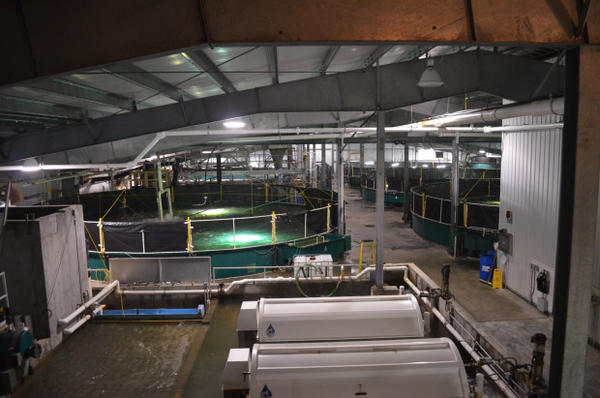 <p>Kuterra grows Atlantic salmon in giant tanks.</p>