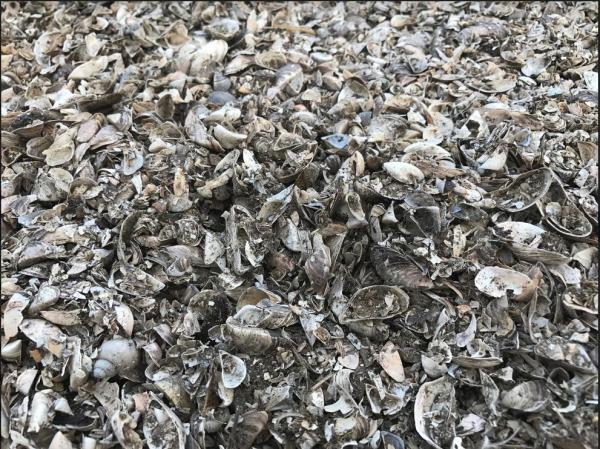 A pile of mussels shells from a lake in Wisconsin.