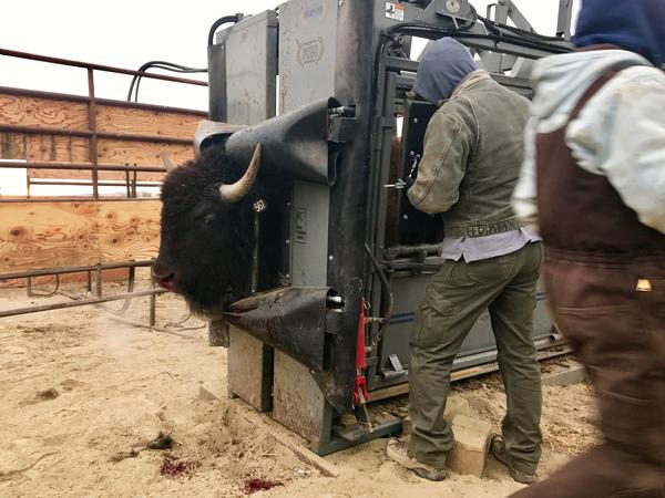 A bison is held in a hydraulic squeeze chute on the American Prairie Reserve near Malta. While handlers keep the corral as quiet and low-stress as possible, occassionally yearlings bash their noses or break horns.
