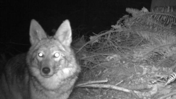 <p>A coyote passes by a game camera in Seward Park.</p>