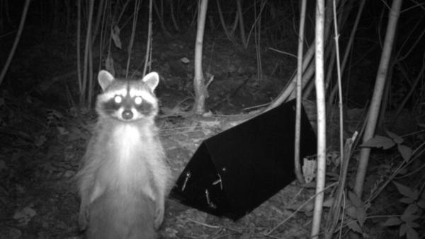 <p>A raccoon stops in front of a game camera along the Puget Creek Greenspace.</p>