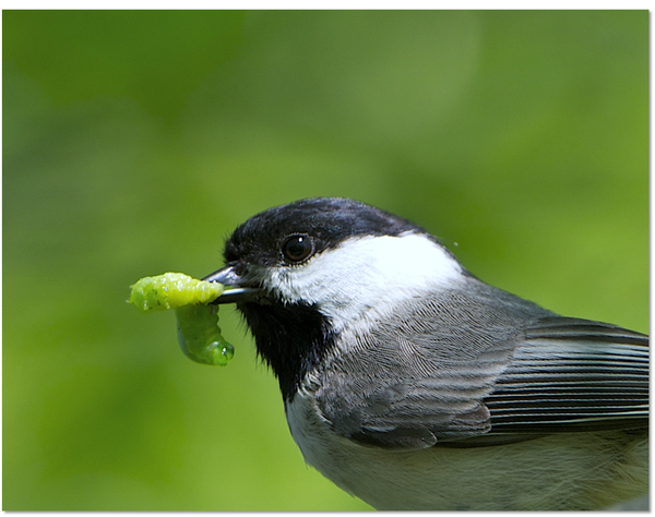 A Carolina chickadee with its caterpillar dinner.