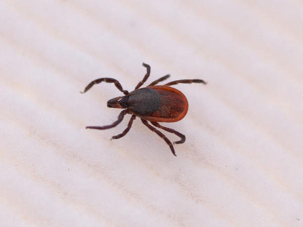 Blacklegged ticks — also called deer ticks — are tiny. This adult female is about the size of a sesame seed.