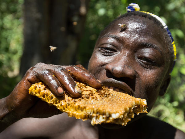 Hadza man eating honeycomb and larvae from a beehive.