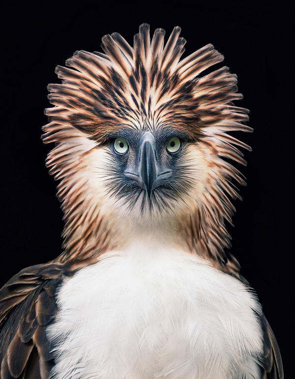 The Philippine eagle <em>Pithecophaga jefferyi</em> faces extinction from mining, pollution and poaching. Photographer Tim Flach used black backgrounds to create intimate portraits for his book.