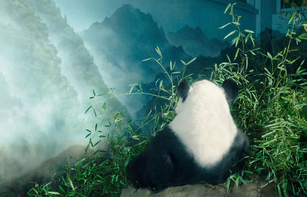 Because giant pandas are widely beloved, they have a rarefied place in conservation, leading to the unintended consequence of providing safety for less fashionable species who happen to live in the same region.