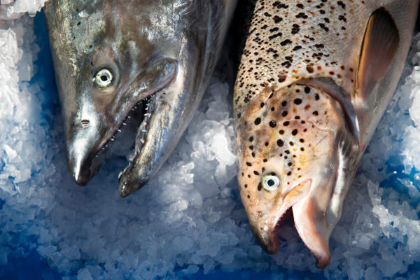 <p>A wild Pacific salmon, left, next to a farm-raised Atlantic salmon at Home Port Seafoods in Bellingham, Washington.</p>