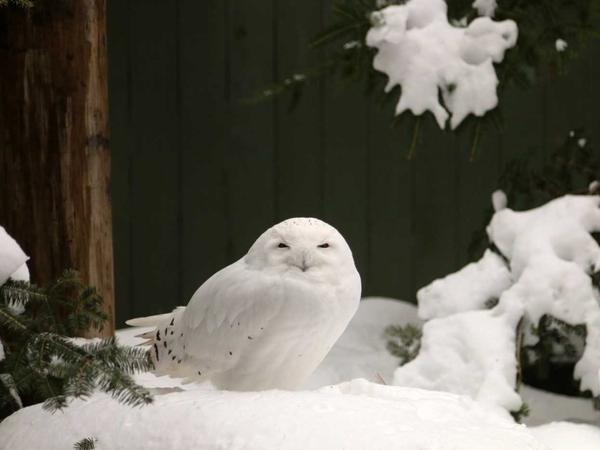 A female snowy owl named LaGuardia at the Vermont Institute of Natural Science.