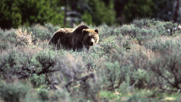 A grizzly bear in Yellowstone National Park. The National Park Service is evaluating whether to reintroduce grizzly bears to Washington's North Cascades.
