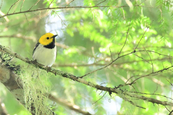<p>The hermit warbler winters in Mexico and migrates to the West Coast.</p>