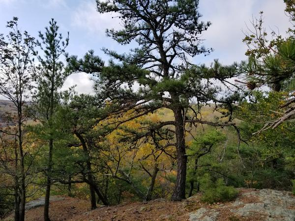 Pitch pines were once found across Connecticut, but have since retreated back to only a few select spots in the state.