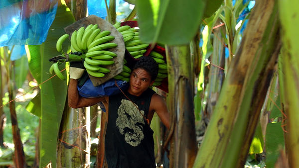 A Costa Rican banana worker carries a stalk of freshly harvested fruit on a plantation in Costa Rica, where many of the bananas that Americans eat are grown.