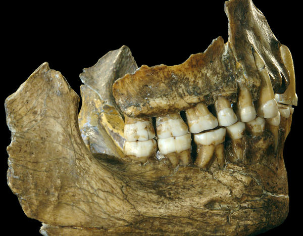 The complete jaw of a Neanderthal individual found in Spy, Belgium. Small and thin tartar deposits provided the researchers with enough DNA sequences to study.