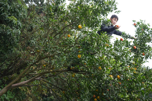 Liu Jin Yin films himself picking oranges at his farm in rural Sichuan province.