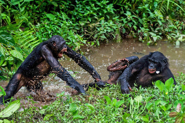 Two bonobos play fight at the Lola Ya Bonobo sanctuary in  Democratic Republic of Congo in 2012.