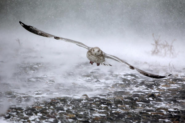 A seagull takes flight in high winds and blowing snow in Hull, Mass. The brutal conditions in the Northeast come one day after the same storm system brought wintry weather to the South.