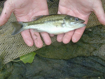 A spotted bass (Micropterus punctulatus) taken from a Kansas stream.